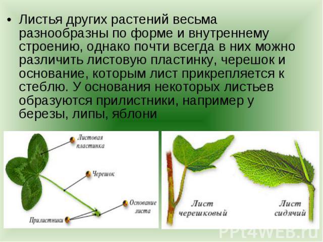 Листья других растений весьма разнообразны по форме и внутреннему строению, однако почти всегда в них можно различить листовую пластинку, черешок и основание, которым лист прикрепляется к стеблю. У основания некоторых листьев образуются прилистники,…