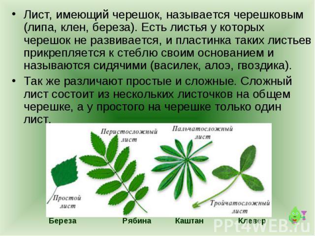 Лист, имеющий черешок, называется черешковым (липа, клен, береза). Есть листья у которых черешок не развивается, и пластинка таких листьев прикрепляется к стеблю своим основанием и называются сидячими (василек, алоэ, гвоздика). Так же различают прос…