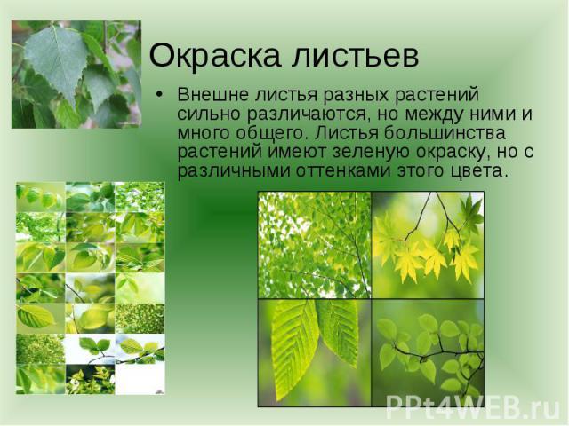 Окраска листьевВнешне листья разных растений сильно различаются, но между ними и много общего. Листья большинства растений имеют зеленую окраску, но с различными оттенками этого цвета.