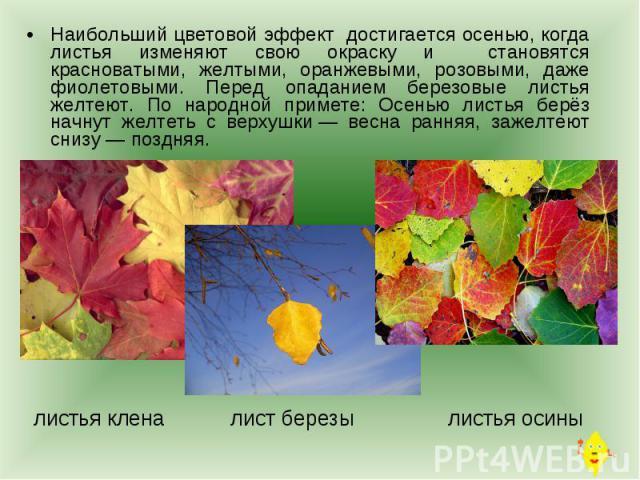 Наибольший цветовой эффект достигается осенью, когда листья изменяют свою окраску и становятся красноватыми, желтыми, оранжевыми, розовыми, даже фиолетовыми. Перед опаданием березовые листья желтеют. По народной примете: Осенью листья берёз начнут ж…