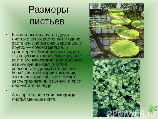 Размеры листьев Как не похожи друг на друга листья разных растений! У одних растений листья очень крупные, у других — совсем мелкие. В оранжереях ботанических садов выращивают тропическое водное растение викторию, родственное нашим кувшинкам. /Листь…