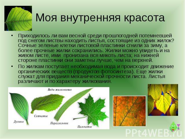 Моя внутренняя красота Приходилось ли вам весной среди прошлогодней потемневшей под снегом листвы находить листья, состоящие из одних жилок? Сочные зеленые клетки листовой пластинки сгнили за зиму, а более прочные жилки сохранились. Жилки можно увид…