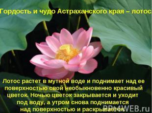 Гордость и чудо Астраханского края – лотос. Лотос растет в мутной воде и поднима