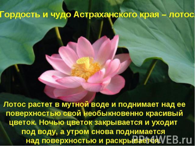 Гордость и чудо Астраханского края – лотос. Лотос растет в мутной воде и поднимает над ее поверхностью свой необыкновенно красивый цветок. Ночью цветок закрывается и уходит под воду, а утром снова поднимается над поверхностью и раскрывается.