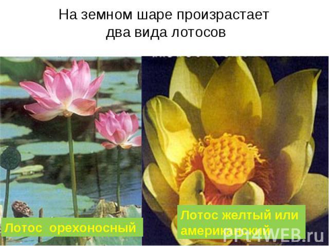 На земном шаре произрастает два вида лотосов