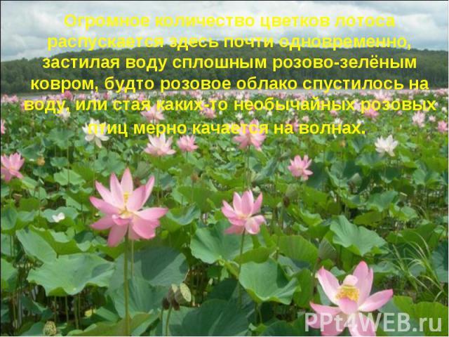 Огромное количество цветков лотоса распускается здесь почти одновременно, застилая воду сплошным розово-зелёным ковром, будто розовое облако спустилось на воду, или стая каких-то необычайных розовых птиц мерно качается на волнах.