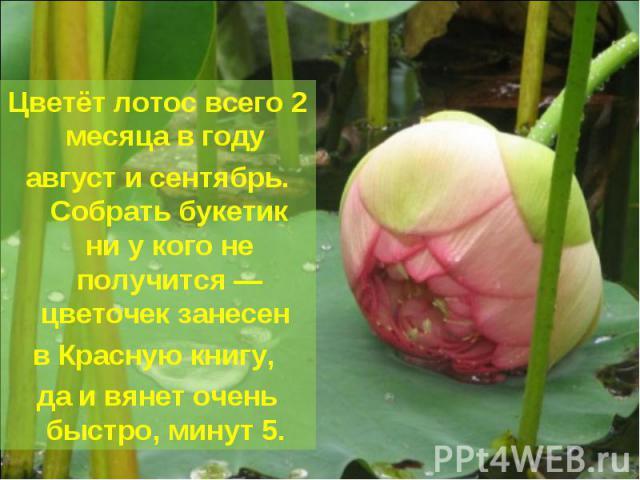 Цветёт лотос всего 2 месяца в году август и сентябрь. Собрать букетик ни у кого не получится — цветочек занесен в Красную книгу, да и вянет очень быстро, минут 5.