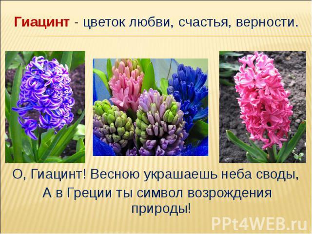 Гиацинт - цветок любви, счастья, верности.О, Гиацинт! Весною украшаешь неба своды, А в Греции ты символ возрождения природы!