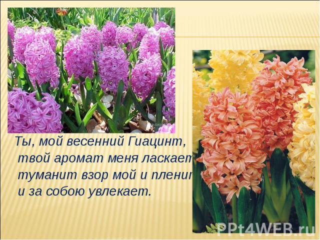 Ты, мой весенний Гиацинт, твой аромат меня ласкает, туманит взор мой и пленит, и за собою увлекает.