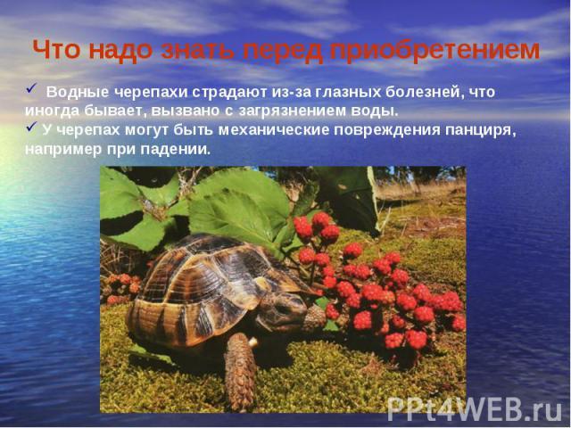 Что надо знать перед приобретением Водные черепахи страдают из-за глазных болезней, что иногда бывает, вызвано с загрязнением воды. У черепах могут быть механические повреждения панциря, например при падении.