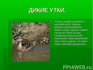 ДИКИЕ УТКИ.Птитцы средних размеров с короткой шеей. Окраска оперенья разнообразн