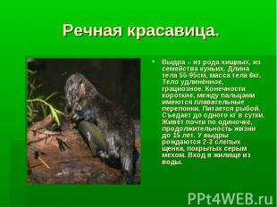 Речная красавица.Выдра – из рода хищных, из семейства куньих. Длина тела 55-95см