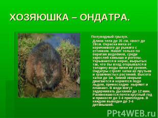 ХОЗЯЮШКА – ОНДАТРА. Полуводный грызун. Длина тела до 35 см, хвост до 28см. Окрас