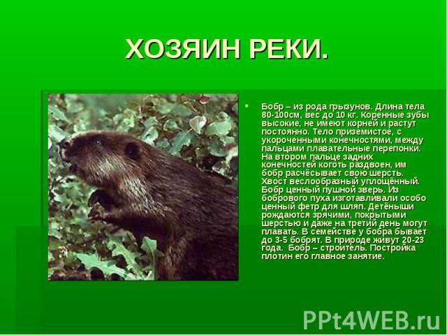 ХОЗЯИН РЕКИ.Бобр – из рода грызунов. Длина тела 80-100см, вес до 10 кг. Коренные зубы высокие, не имеют корней и растут постоянно. Тело приземистое, с укороченными конечностями, между пальцами плавательные перепонки. На втором пальце задних конечнос…