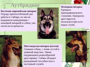 АутбридингВосточно-европейская овчаркаПороду приспособленной для работы в Сибири