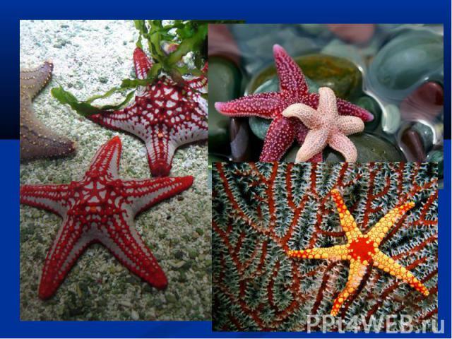 Одним из интересных фактов о морской звезде является то, что большинство из них имеют способность к регенерации рук, в том случае, если они теряют одну или две в результате атаки некоторых хищников. Самое удивительное в морских звездах то, что они м…