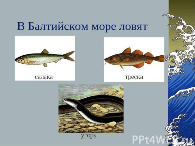 В Балтийском море ловят