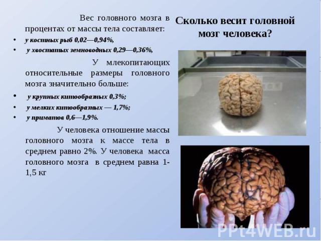 Вес головного мозга в процентах от массы тела составляет: у костных рыб 0,02—0,94%, у хвостатых земноводных 0,29—0,36%, У млекопитающих относительные размеры головного мозга значительно больше: у крупных китообразных 0,3%; у мелких китообразных — 1,…