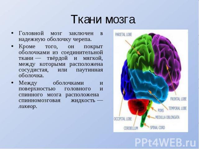 Ткани мозгаГоловной мозг заключен в надежную оболочку черепа. Кроме того, он покрыт оболочками из соединительной ткани— твёрдой и мягкой, между которыми расположена сосудистая, или паутинная оболочка. Между оболочками и поверхностью головного и спи…