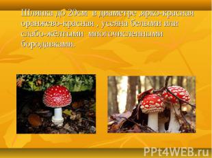 Шляпка до 20см в диаметре ,ярко-красная оранжево-красная , усеяна белыми или сла