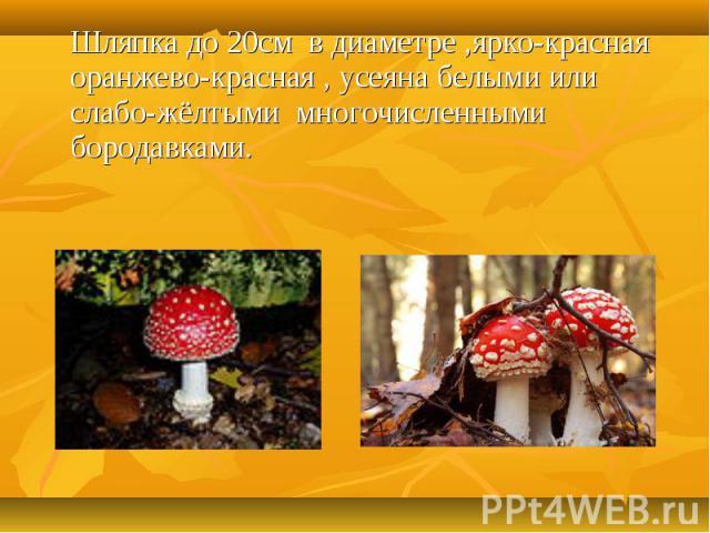 Шляпка до 20см в диаметре ,ярко-красная оранжево-красная , усеяна белыми или слабо-жёлтыми многочисленными бородавками.