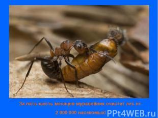 За пять-шесть месяцев муравейник очистит лес от 2 000 000 насекомых!