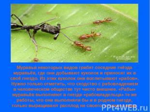 Муравьи некоторых видов грабят соседние гнёзда муравьёв, где они добывают куколо
