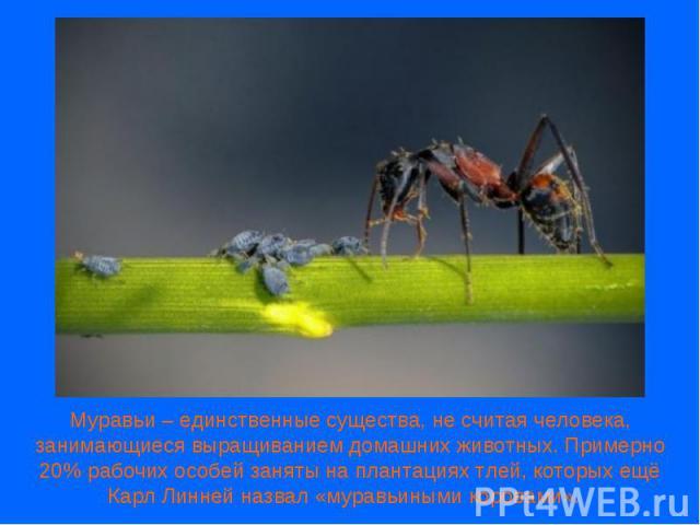 Муравьи – единственные существа, не считая человека, занимающиеся выращиванием домашних животных. Примерно 20% рабочих особей заняты на плантациях тлей, которых ещё Карл Линней назвал «муравьиными коровами».