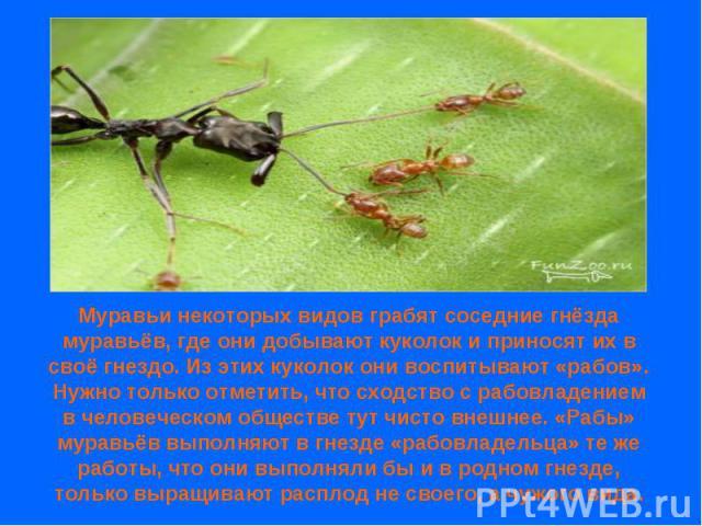 Муравьи некоторых видов грабят соседние гнёзда муравьёв, где они добывают куколок и приносят их в своё гнездо. Из этих куколок они воспитывают «рабов». Нужно только отметить, что сходство с рабовладением в человеческом обществе тут чисто внешнее. «Р…