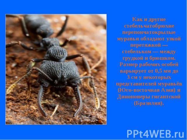 Как и другие стебельчатобрюхие перепончатокрылые муравьи обладают узкой перетяжкой— стебельком— между грудкой и брюшком. Размер рабочих особей варьирует от 0,5мм до 3см у некоторых представителей муравьёв (Юго-восточная Азия) и Динопонеры гигант…