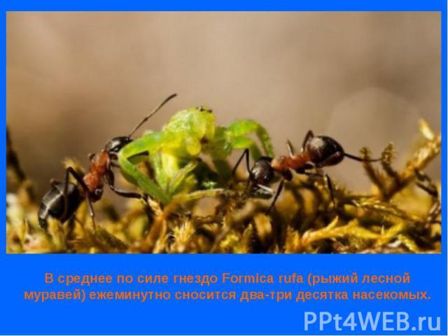 В среднее по силе гнездо Formica rufa (рыжий лесной муравей) ежеминутно сносится два-три десятка насекомых.