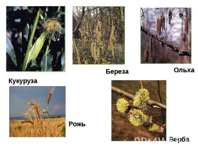 Кукуруза Рожь Береза Ольха Верба