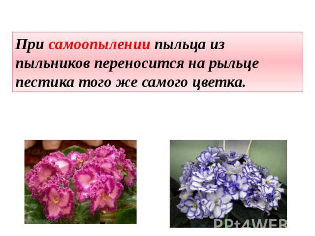 При самоопылении пыльца из пыльников переносится на рыльце пестика того же самого цветка.