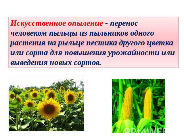 Искусственное опыление - перенос человеком пыльцы из пыльников одного растения на рыльце пестика другого цветка или сорта для повышения урожайности или выведения новых сортов.