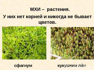 МХИ – растения. У них нет корней и никогда не бывает цветов. сфагнум кукушкин лё