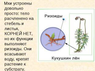 Мхи устроены довольно просто: тело расчленено на стебель и листья, КОРНЕЙ НЕТ, н