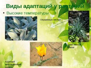 Виды адаптаций у растений Высокие температуры