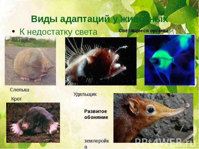 Виды адаптаций у животныхК недостатку света
