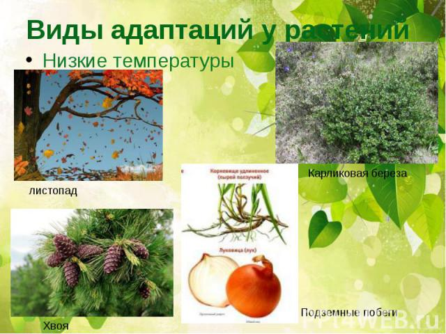Виды адаптаций у растений Низкие температуры