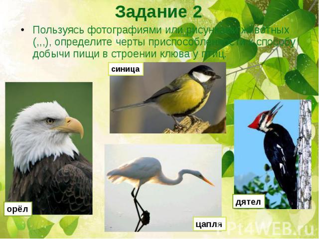 Пользуясь фотографиями или рисунками животных (,,,), определите черты приспособленности к способу добычи пищи в строении клюва у птиц.