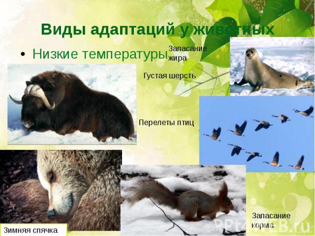 Виды адаптаций у животных Низкие температуры