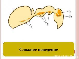 Развитие нервной системы