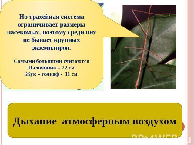 Трахеи – органы дыхания насекомых Но трахейная система ограничивает размеры насекомых, поэтому среди них не бывает крупных экземпляров.Самыми большими считаются Палочнник – 22 смЖук – голиаф - 11 см