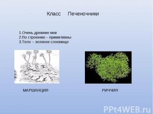 Класс ПеченочникиОчень древние мхиПо строению – примитивныТело – зеленое слоевищ
