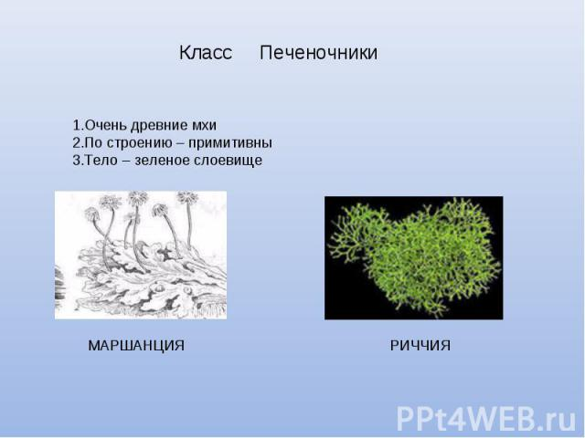 Класс ПеченочникиОчень древние мхиПо строению – примитивныТело – зеленое слоевище МАРШАНЦИЯ РИЧЧИЯ