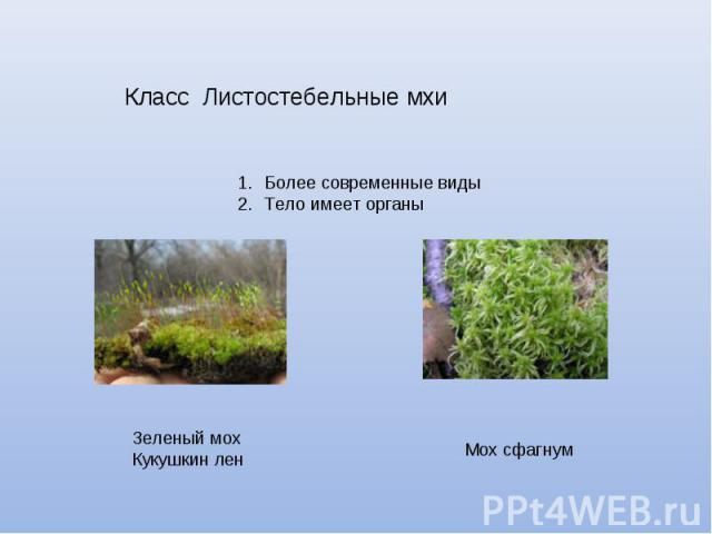 Класс Листостебельные мхи Более современные видыТело имеет органы Зеленый мохКукушкин лен Мох сфагнум