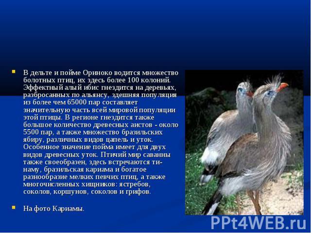 В дельте и пойме Ориноко водится множество болотных птиц, их здесь более 100 колоний. Эффектный алый ибис гнездится на деревьях, разбросанных по альянсу, здешняя популяция из более чем 65000 пар составляет значительную часть всей мировой популяции э…