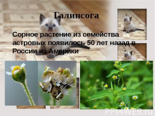 Галинсога Сорное растение из семейства астровых появилось 50 лет назад в России