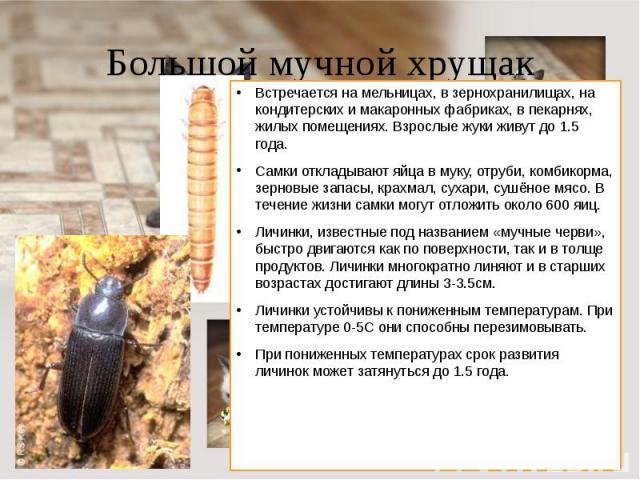 Большой мучной хрущак Встречается на мельницах, в зернохранилищах, на кондитерских и макаронных фабриках, в пекарнях, жилых помещениях. Взрослые жуки живут до 1.5 года.Самки откладывают яйца в муку, отруби, комбикорма, зерновые запасы, крахмал, суха…