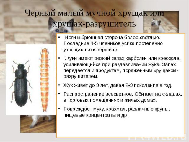 Черный малый мучной хрущак или хрущак-разрушитель Ноги и брюшная сторона более светлые. Последние 4-5 члеников усика постепенно утолщаются к вершине. Жуки имеют резкий запах карболки или креозола, усиливающийся при раздавливании жука. Запах передае…